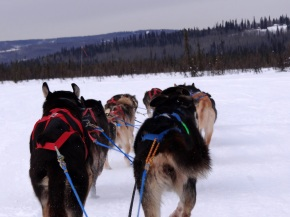 Dog sledding@Fairbanks
