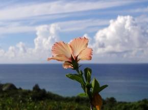 粉紅扶桑花, 御取崎展望台, 石垣島