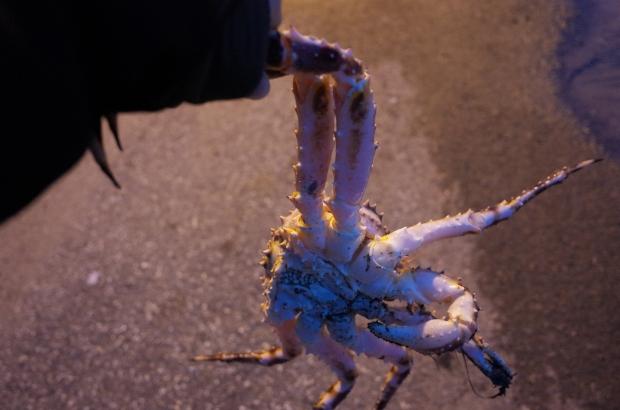 Honningsvåg 港口旁抓起的帝王蟹